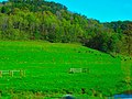 Cattle in the Driftless Area - panoramio.jpg