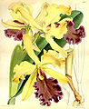 Cattleya dowiana - Curtis' 93 (Ser. 3 no. 23) pl. 5618 (1867).jpg
