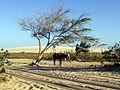 Cavalos de passeio em Jericoacoara.jpg