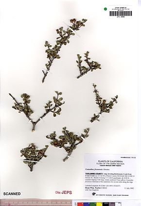Description de l'image Ceanothus fresnensis JEPS109986.jpg.