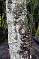 Cecropia obtusifolia 16zz.jpg