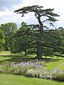 Cedar of Lebanon, Knightshayes Court - geograph.org.uk - 2586136.jpg