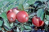 Ceeval on tree, National Fruit Collection (acc. 1994-008).jpg