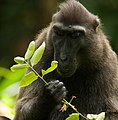 Celebes crested macaque (13968482373).jpg