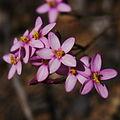 Centaurium erythrae 058.JPG
