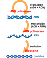 Central Dogma of Molecular Biochemistry with Enzymes gl.png