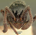 Cerapachys mayri casent0101841 head 1.jpg