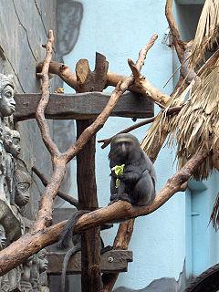 Hamlyns monkey Species of Old World monkey
