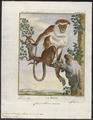 Cercopithecus mona - 1700-1880 - Print - Iconographia Zoologica - Special Collections University of Amsterdam - UBA01 IZ19900113.tif