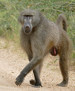 Chacma baboon Species of baboon from the Old World monkey family