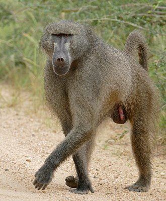 Chacma baboon - Male in Kruger National Park, South Africa