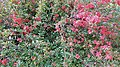 Chaenomeles japonica habitus.jpg