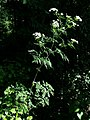 Chaerophyllum bulbosum sl1.jpg