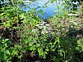 Chaerophyllum temulum inflorescence (24).jpg