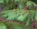 Chamaecyparis lawsoniana Siskiyou NF 3.jpg