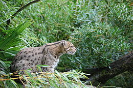 Fishing Cat Habitat