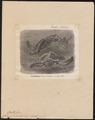 Chelonia imbricata - 1700-1880 - Print - Iconographia Zoologica - Special Collections University of Amsterdam - UBA01 IZ11600237.tif