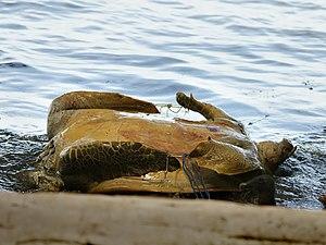 Green sea turtle - A poached green turtle in Costa Rica