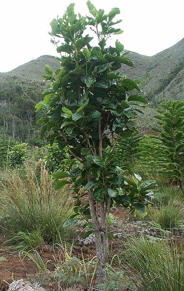 arbre chêne gomme