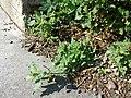 Chenopodium murale sl46.jpg