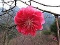 Cherry Blossom 櫻花 - panoramio.jpg
