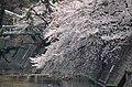 Cherry blossom 2011 (5641568822).jpg