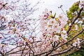 Cherry blossoms at Matsuyama Castle, Ehime Prefecture; April 2017 (07).jpg