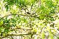 Chestnut-backed chickadee (25813706223).jpg
