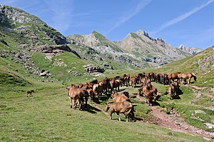 Transhumance - Herd of horses on summer mountain pasture in the Pyrenees
