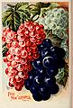 Childs' rare flowers, vegetables, and fruits (1902) (20420078769).jpg