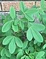 Chipilín (Crotalaria longirostrata).jpg