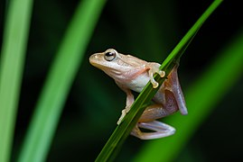 Chiromantis doriae, Doria's Asian tree frog.jpg