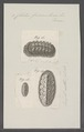 Chiton fascicularis - - Print - Iconographia Zoologica - Special Collections University of Amsterdam - UBAINV0274 081 06 0010.tif