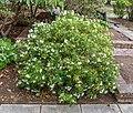 Choisya × dewitteana, Christchurch Botanic Gardens, Canterbury, New Zealand 01.jpg