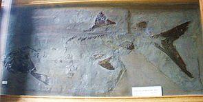 Chondrosteus acipenseroides, Fossil im Teylers Museum, Haarlem.