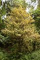 Christchurch Botanic Gardens, New Zealand section, pseudowintera colorata 2016-02-04.jpg