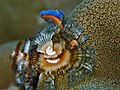 Christmas tree worm in Gondong Bali Island.jpg