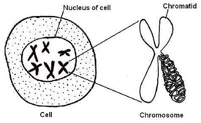 Anatomy and physiology of animalsthe cell wikibooks open books the nucleusedit ccuart Images