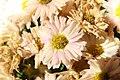 Chrysanthemum Camille 0zz.jpg