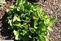 Chrysogonum virginianum Pierre 3zz.jpg