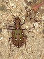 Cicindela marrocana (Cicindelidae) - The Moroccan Tiger beetle (8709824612).jpg