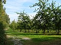 Cider orchard at Haygrass - geograph.org.uk - 241362.jpg