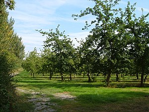 Cider orchard at Haygrass. There are several l...