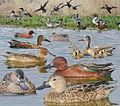 Cinammon Teal From The Crossley ID Guide Eastern Birds.jpg