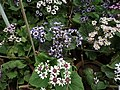 Cineraria from Lalbagh flower show Aug 2013 8216.JPG