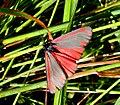 Cinnabar Moth (14531183004).jpg