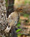 Cinnyricinclus leucogaster, Limpopo, South Africa 4.jpg