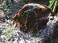 Citrullus ¿ species ? (8296905674).jpg