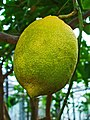 Citrus x limon 003.JPG