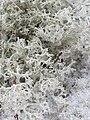 Cladonia arbuscula 110388434.jpg